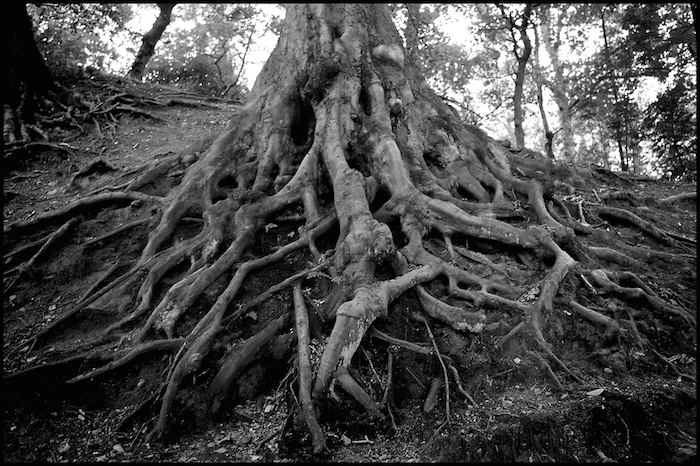 A black and white photo of tree roots, large and gnarled.
