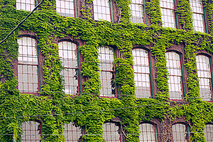 Ivy on a traditional brick building.