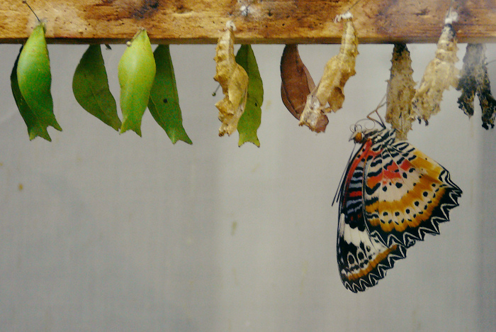 The stages of a butterfly from chrysalis to newly hatched.