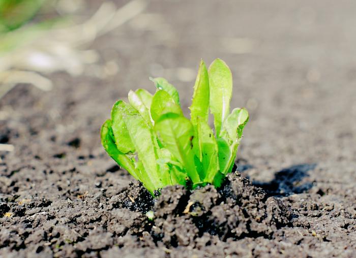 A dandelion plant growing out of asphalt.