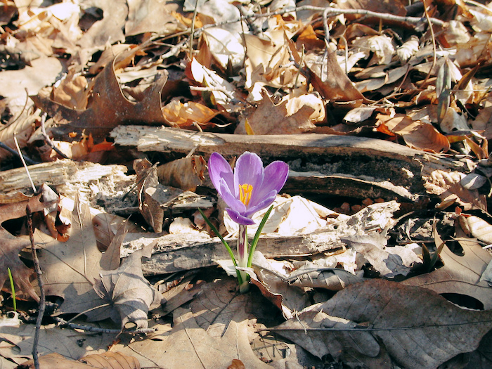 A flower emerging from autumn leaves.