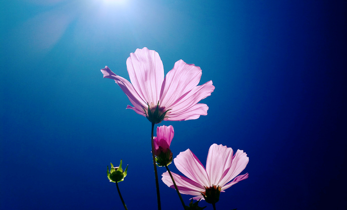 Beautiful purple flowers opening up to the sun and blue sky.