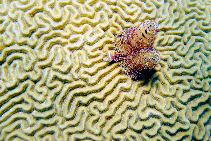 A Christmas-tree worm on brain coral.