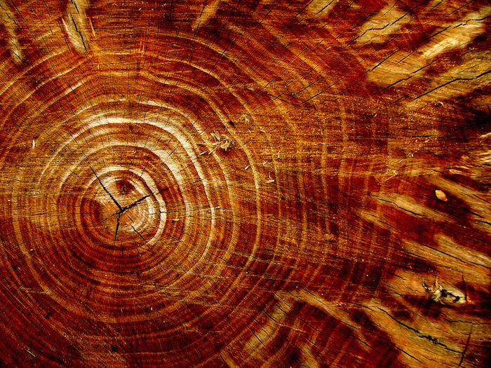 Cross-section of a cut tree, with many rings radiating towards the bark.