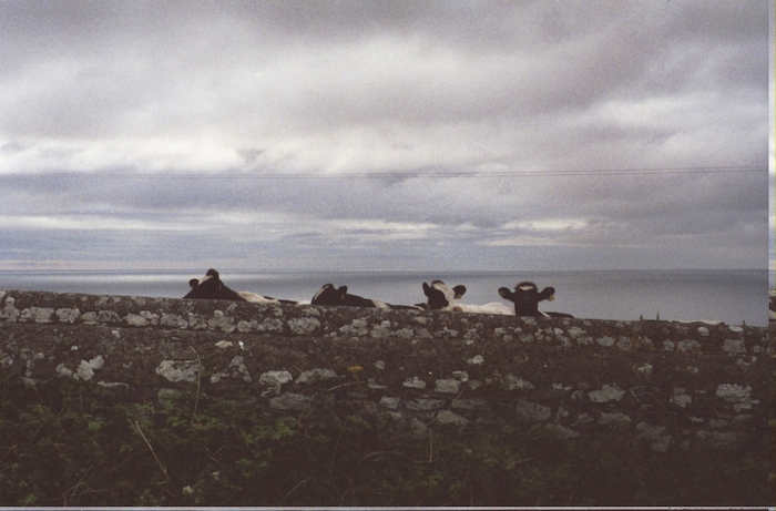 A group of cows huddled together, visible over a stone wall on an overcast day.