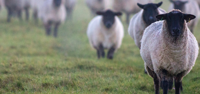 A flock of sheep trots towards the camera; one sheep in focus against a hazy background of other animals.