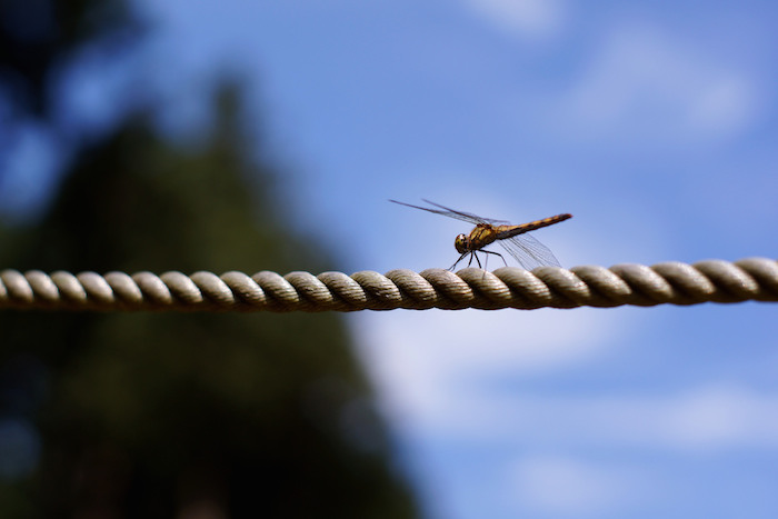 Dragonfly alight on a rope, as if balancing on a tightrope.